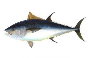 tuna-69317_640